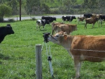 "Cal Poly Cows Preparing for ""History Channel"" Shoot"
